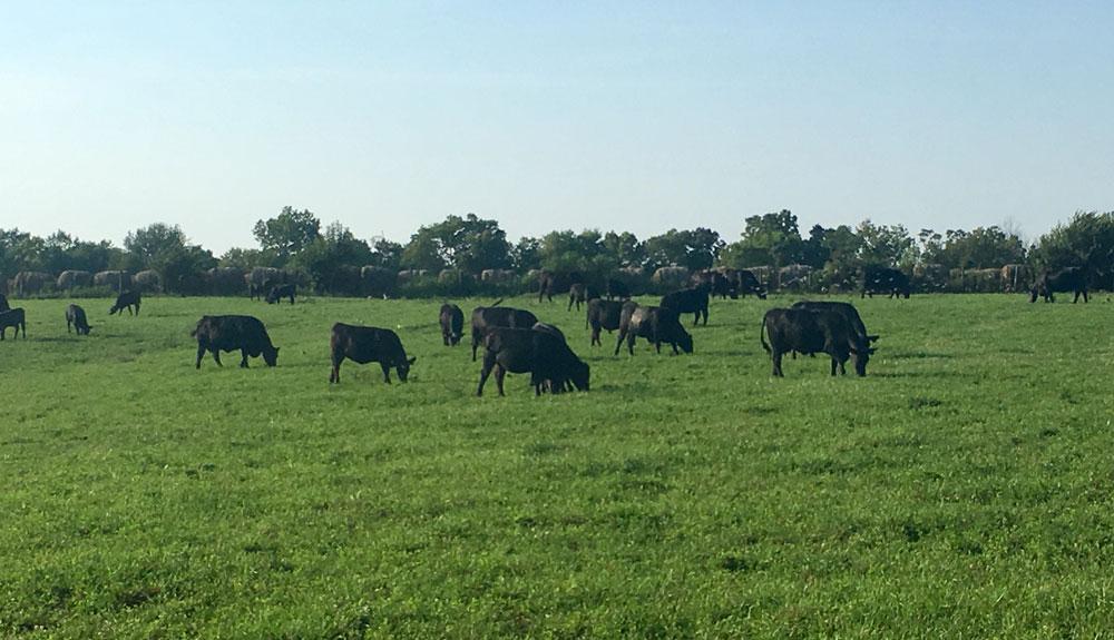 Cattle-Grazing-Bluegrass