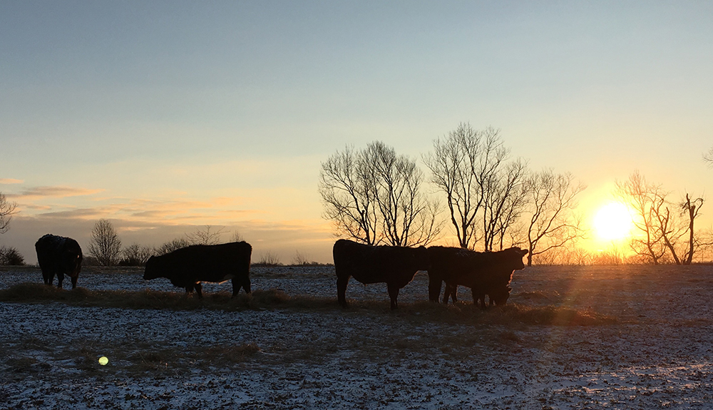 Cattle-Snow-At-Sunset