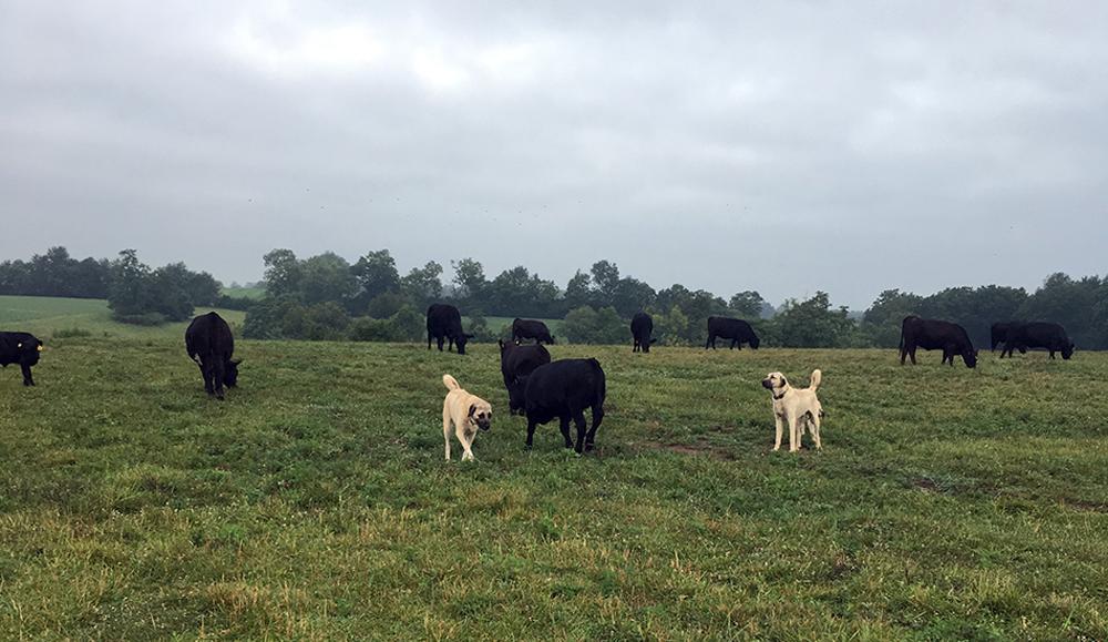 HomePg-Cover-dogs-cattle-field