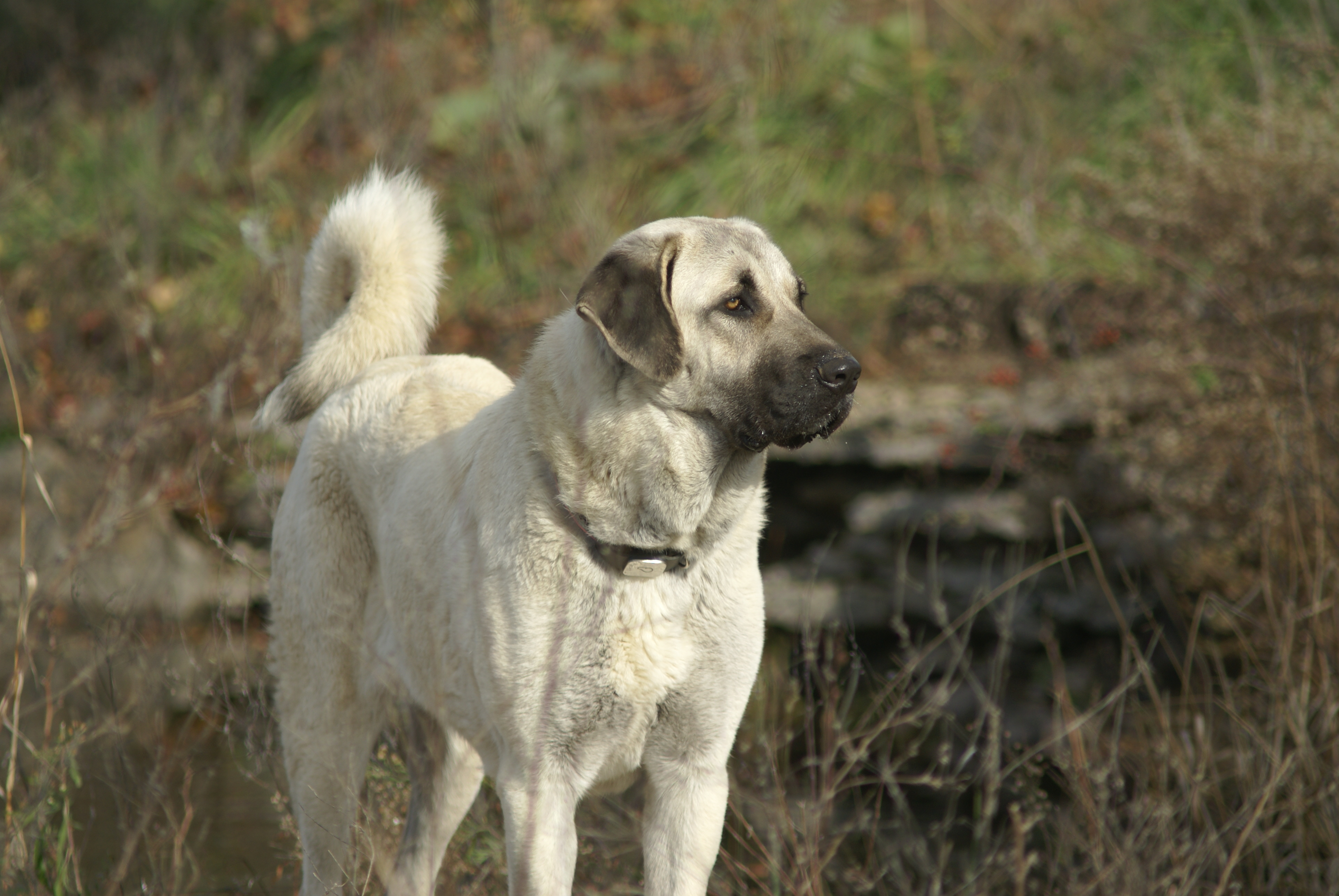 Our Kangal Dogs - Evans Mill Cattle Company