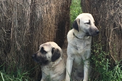 Gallery-Kangal-Dogs-Hay