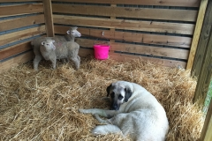 Gallery-Sheep-Dog