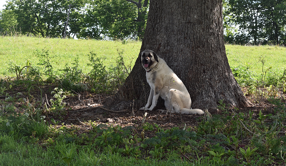 Livestock Guardian Dogs resting under a tree