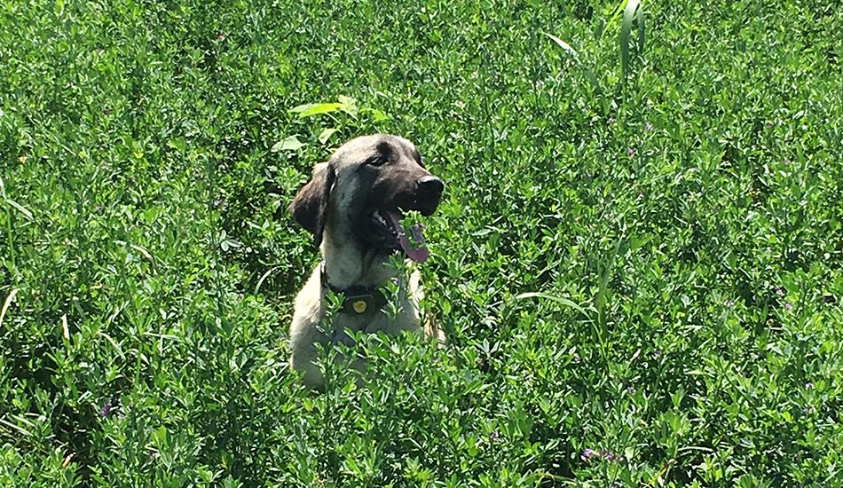 """Our Kangal Dogs - Amerikali Zeynep """"Pipa"""""""