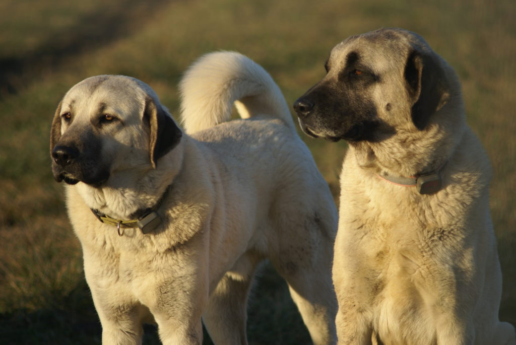 Available Kangal Dogs - Evans Mill Cattle Company